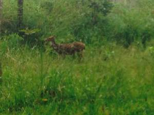 Spotted deer in the jeep safari