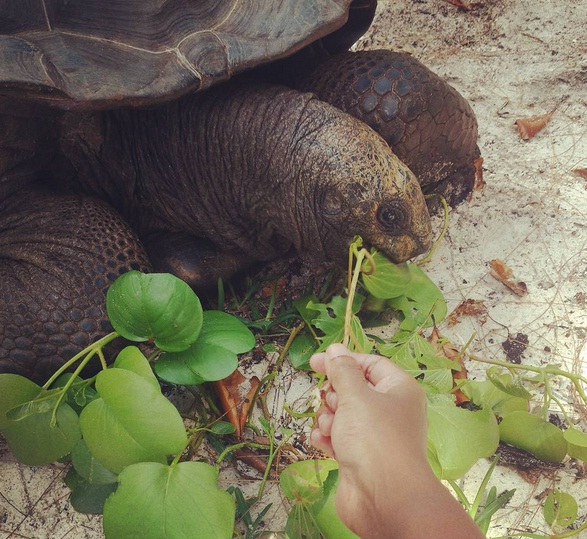feeding tortoise in la digue