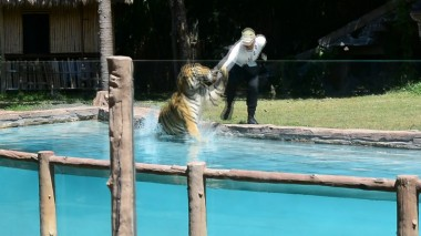 harimau tiger pulling man into water