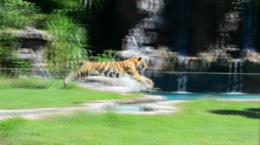 harimau tiger running