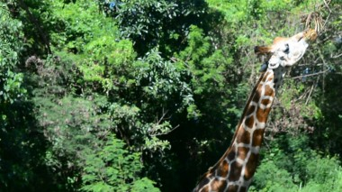 tram giraffe