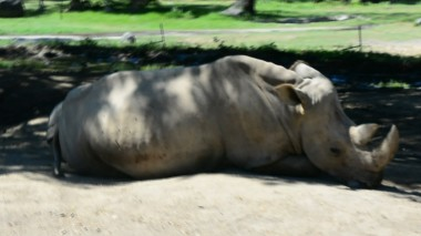 tram rhino